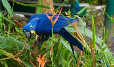 Declaran extinto al guacamayo azul, que inspiró el film Río